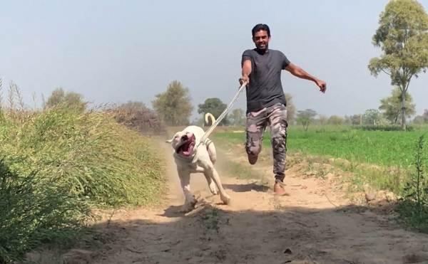 Булли-кутта-собака-Характер-особенности-виды-уход-и-цена-породы-булли-кутта-7