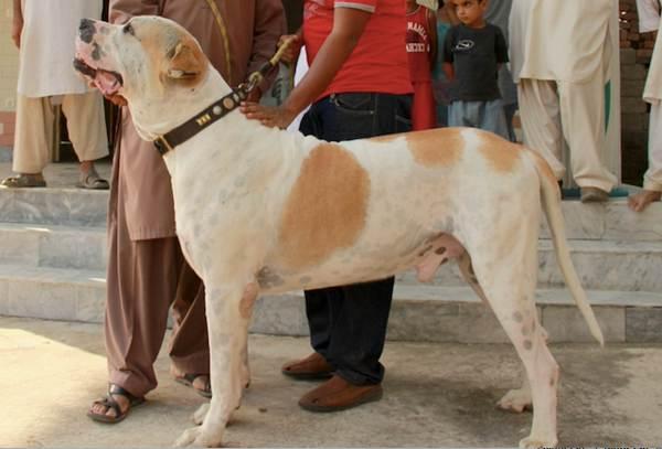 Булли-кутта-собака-Характер-особенности-виды-уход-и-цена-породы-булли-кутта-9