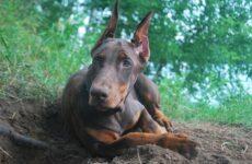 Доберман собака. Описание, особенности, виды, уход и цена породы доберман