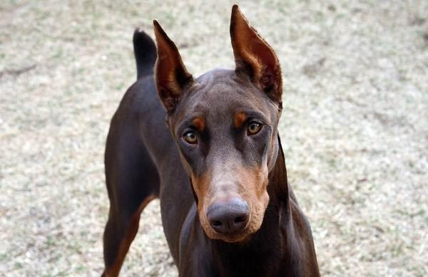 Доберман-собака-Описание-особенности-виды-уход-и-цена-породы-доберман-10