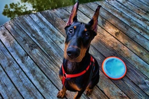Доберман-собака-Описание-особенности-виды-уход-и-цена-породы-доберман-11
