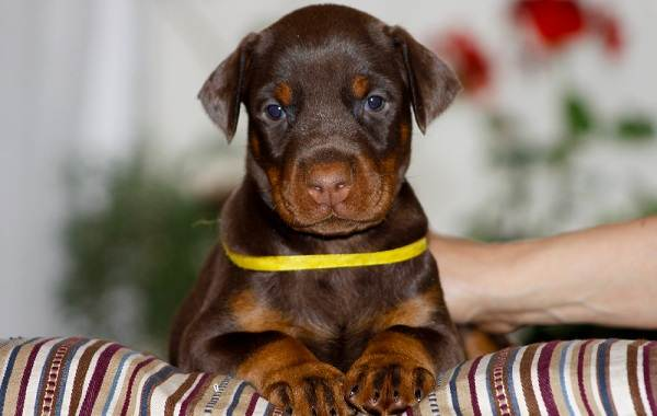 Доберман-собака-Описание-особенности-виды-уход-и-цена-породы-доберман-12