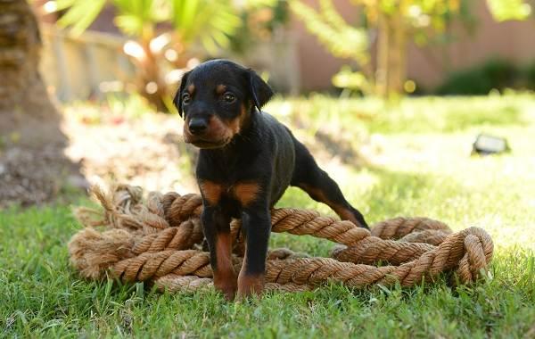 Доберман-собака-Описание-особенности-виды-уход-и-цена-породы-доберман-13
