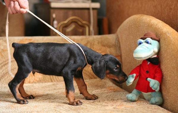 Доберман-собака-Описание-особенности-виды-уход-и-цена-породы-доберман-15