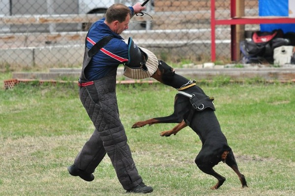 Доберман-собака-Описание-особенности-виды-уход-и-цена-породы-доберман-16