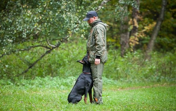 Доберман-собака-Описание-особенности-виды-уход-и-цена-породы-доберман-17