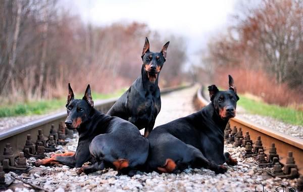 Доберман-собака-Описание-особенности-виды-уход-и-цена-породы-доберман-4