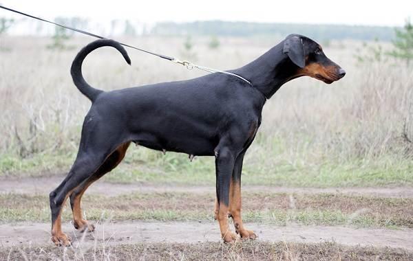 Доберман-собака-Описание-особенности-виды-уход-и-цена-породы-доберман-5