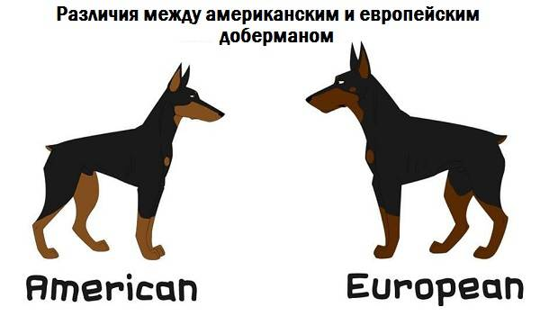 Доберман-собака-Описание-особенности-виды-уход-и-цена-породы-доберман-7