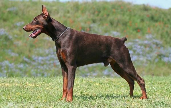 Доберман-собака-Описание-особенности-виды-уход-и-цена-породы-доберман-8