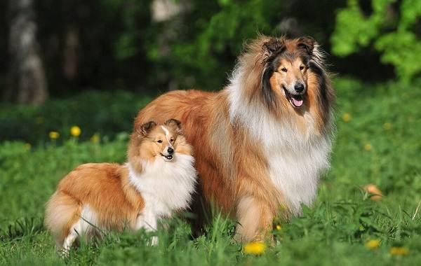 Добрые-породы-собак-Названия-описание-особенности-и-фото-добрых-пород-собак-10