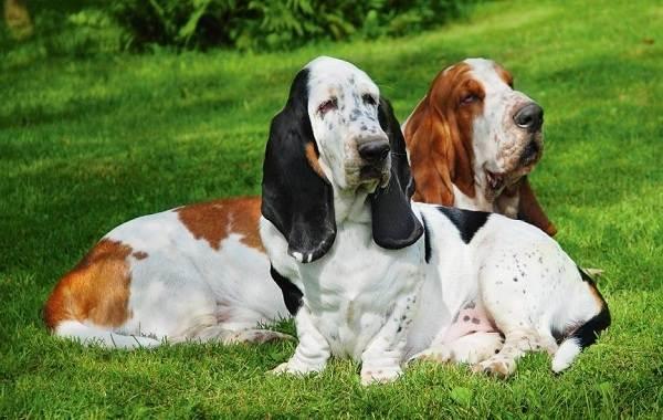 Добрые-породы-собак-Названия-описание-особенности-и-фото-добрых-пород-собак-15