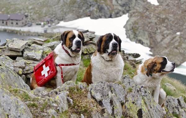 Добрые-породы-собак-Названия-описание-особенности-и-фото-добрых-пород-собак-3