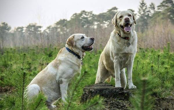 Добрые-породы-собак-Названия-описание-особенности-и-фото-добрых-пород-собак-7