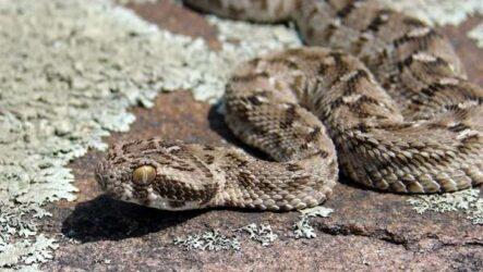 Эфа змея. Описание, особенности, виды, среда обитания и образ жизни эфы