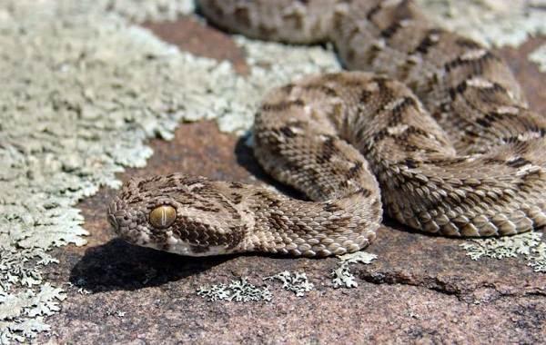 Эфа-змея-Описание-особенности-виды-среда-обитания-и-образ-жизни-эфы-1