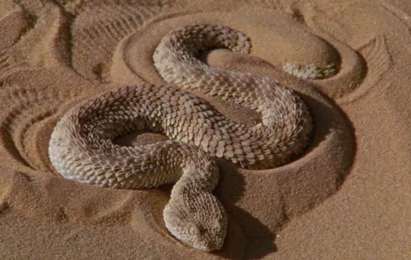 Эфа-змея-Описание-особенности-виды-среда-обитания-и-образ-жизни-эфы-10