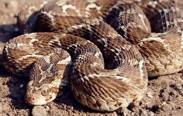 Эфа-змея-Описание-особенности-виды-среда-обитания-и-образ-жизни-эфы-2