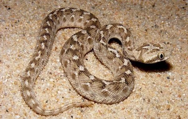 Эфа-змея-Описание-особенности-виды-среда-обитания-и-образ-жизни-эфы-5