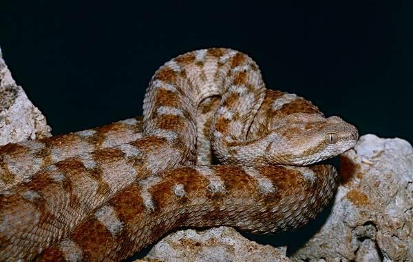 Эфа-змея-Описание-особенности-виды-среда-обитания-и-образ-жизни-эфы-7