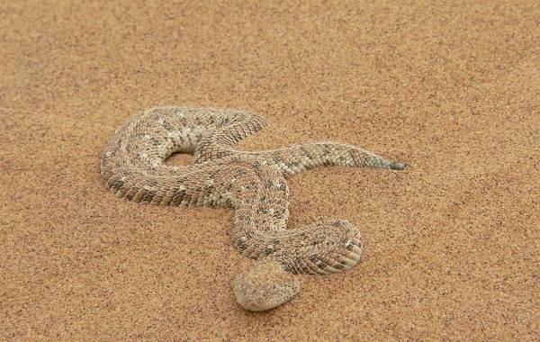 Эфа-змея-Описание-особенности-виды-среда-обитания-и-образ-жизни-эфы-8
