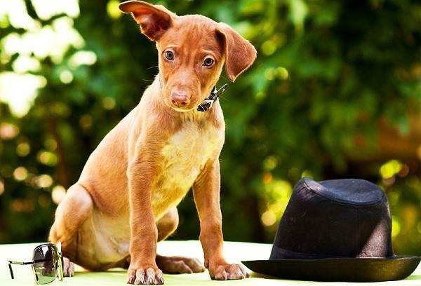 Фараонова-собака-Описание-особенности-виды-уход-содержание-и-цена-породы-1
