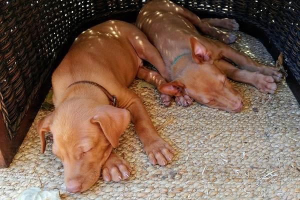 Фараонова-собака-Описание-особенности-виды-уход-содержание-и-цена-породы-11
