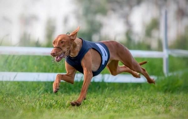 Фараонова-собака-Описание-особенности-виды-уход-содержание-и-цена-породы-13
