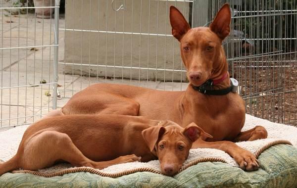 Фараонова-собака-Описание-особенности-виды-уход-содержание-и-цена-породы-3