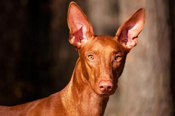 Фараонова-собака-Описание-особенности-виды-уход-содержание-и-цена-породы-5