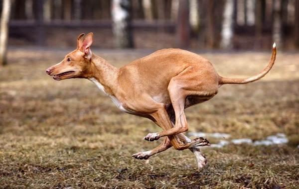 Фараонова-собака-Описание-особенности-виды-уход-содержание-и-цена-породы-8