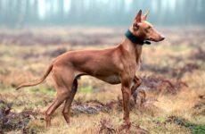 Фараонова собака. Описание, особенности, виды, уход, содержание и цена породы
