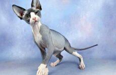 Гипоаллергенные породы кошек. Описание, названия, виды и фото гипоаллергенных кошек