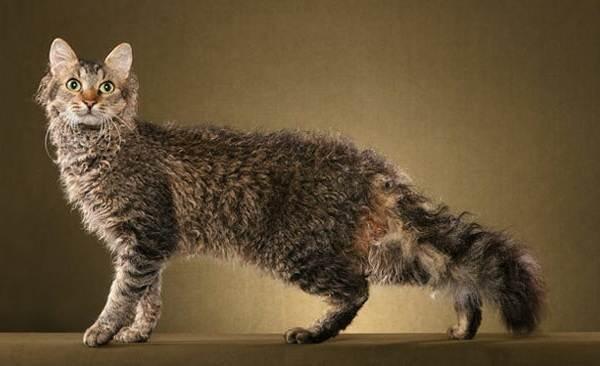 Гипоаллергенные-породы-кошек-Описание-названия-виды-и-фото-гипоаллергенных-кошек-10