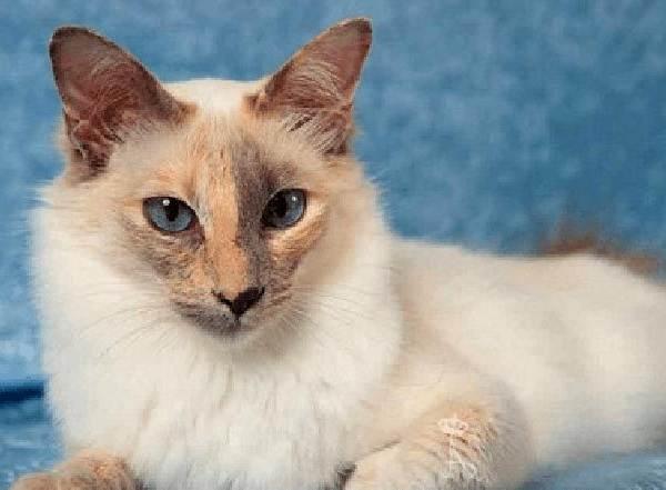 Гипоаллергенные-породы-кошек-Описание-названия-виды-и-фото-гипоаллергенных-кошек-11