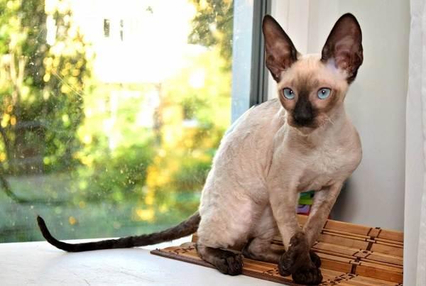 Гипоаллергенные-породы-кошек-Описание-названия-виды-и-фото-гипоаллергенных-кошек-12
