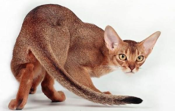 Гипоаллергенные-породы-кошек-Описание-названия-виды-и-фото-гипоаллергенных-кошек-13