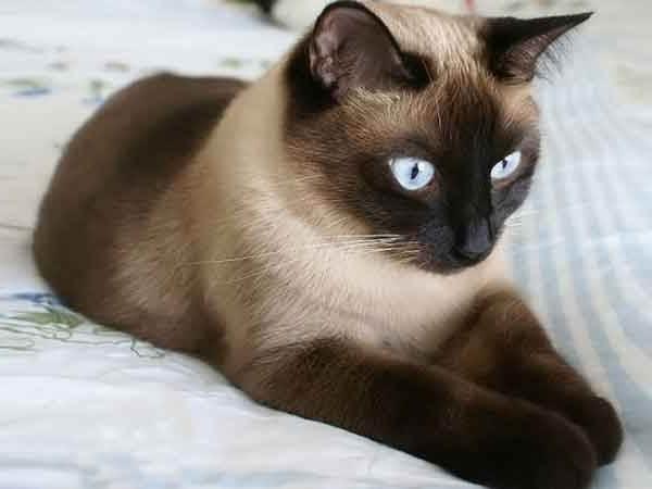 Гипоаллергенные-породы-кошек-Описание-названия-виды-и-фото-гипоаллергенных-кошек-2