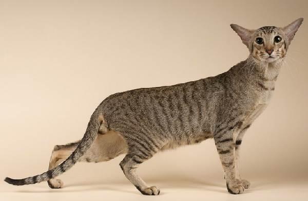 Гипоаллергенные-породы-кошек-Описание-названия-виды-и-фото-гипоаллергенных-кошек-3