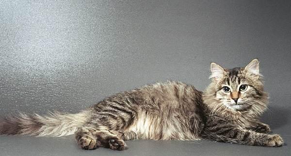 Гипоаллергенные-породы-кошек-Описание-названия-виды-и-фото-гипоаллергенных-кошек-4