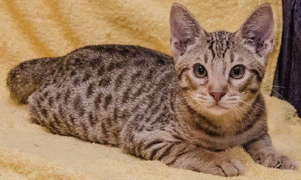 Гипоаллергенные-породы-кошек-Описание-названия-виды-и-фото-гипоаллергенных-кошек-7