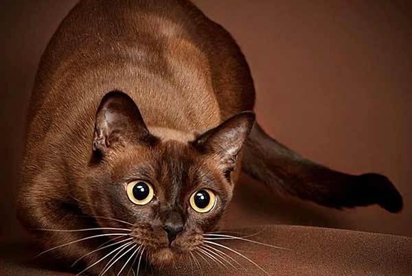 Гипоаллергенные-породы-кошек-Описание-названия-виды-и-фото-гипоаллергенных-кошек-8