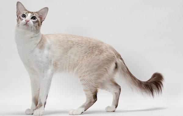 Гипоаллергенные-породы-кошек-Описание-названия-виды-и-фото-гипоаллергенных-кошек-9