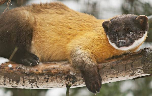 Харза-животное-Описание-особенности-виды-образ-жизни-и-среда-обитания-харзы-1