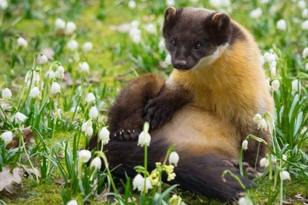 Харза-животное-Описание-особенности-виды-образ-жизни-и-среда-обитания-харзы-10