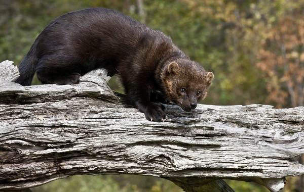 Харза-животное-Описание-особенности-виды-образ-жизни-и-среда-обитания-харзы-11