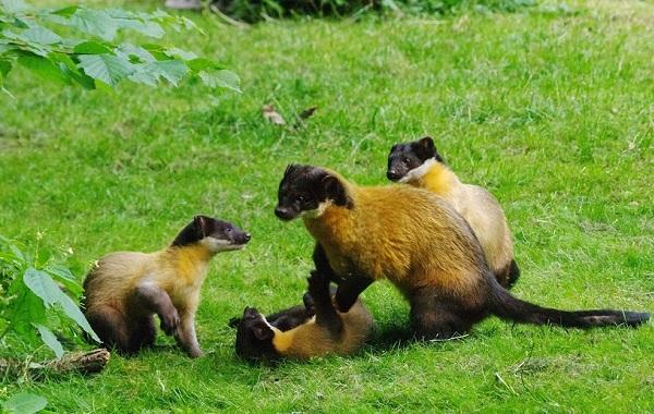 Харза-животное-Описание-особенности-виды-образ-жизни-и-среда-обитания-харзы-13