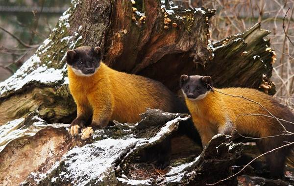 Харза-животное-Описание-особенности-виды-образ-жизни-и-среда-обитания-харзы-2