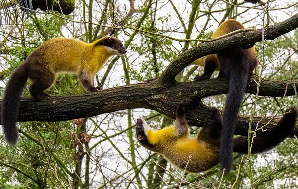 Харза-животное-Описание-особенности-виды-образ-жизни-и-среда-обитания-харзы-4