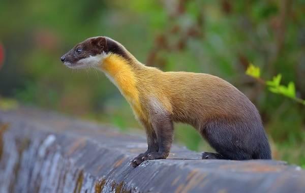 Харза-животное-Описание-особенности-виды-образ-жизни-и-среда-обитания-харзы-5